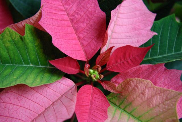 RANDOM POINSETTIA ATTACK!